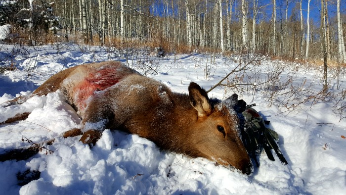 A cow elk lays in the snow, recently shot by author Brody Henderson.